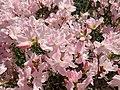 Rhododendron schlippenbachii 2019-04-20 1685.jpg
