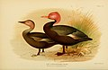 Rhodonessa Caryophyllacea Pink headed duck India.jpg