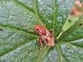 Rhopalus subrufus (Rhopalidae) - (imago), Mook, the Netherlands.jpg