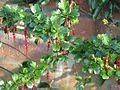 Ribes speciosum - Flickr - peganum (3).jpg