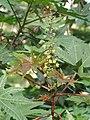 Ricinus communis - Castor Bean Plant at Trivandrum 2014 (2).jpg