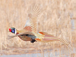 Ringnecked pheasant flying USFWS.jpg