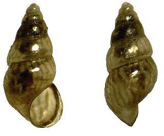 <i>Rissoa</i> Genus of gastropods