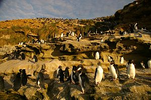 Southern rockhopper penguin - Eudyptes chrysocome chrysocome colony on Saunders Island, Falkland Islands