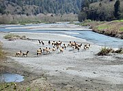 A herd of Roosevelt Elk in Redwood National and State Parks, California.