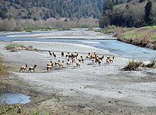 Photograph of a herd of elk