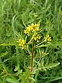 Rorippa palustris kz01.jpg
