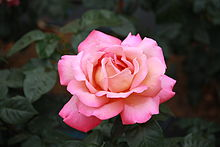 Rosa 'Chicago Peace'.jpg