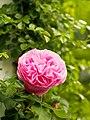 Rosa 'Reine Victoria' (13958794148).jpg