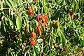 Rosa × odorata - Quarryhill Botanical Garden - DSC03240.JPG