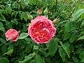 Rosa Benjamin Britten 2019-06-07 1273.jpg