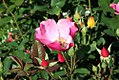 Rosa Betty Prior 5zz.jpg