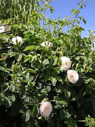 Rosa × alba - Image: Rosa alba resized