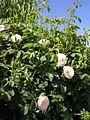 Rosa alba resized.JPG