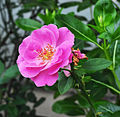 Rosa indica, Burdwan, West Bengal, India 09 03 2012.jpg