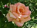 Rosarium Baden Rosa 'Dr. Omar Zawawi' Schmadlak 2000 02.jpg