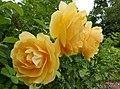 Rosarium Baden Rosa 'Graham Thomas' Austin 1983 01.jpg
