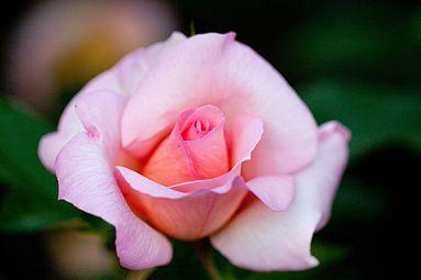 Rose, Zambra'936.jpg