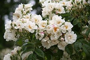 English: Thalia rose - Bagatelle Rose Garden (...