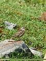 Rosy Pipit (Anthus roseatus) (31707639180).jpg