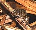 Rough-sided Frog (Pulchrana glandulosa) ? (22533218879).jpg
