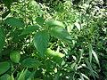 Rubus allegheniensis SCA-03199.jpg