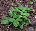 Rubus saxatilis 2 RF.jpg