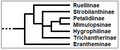 Ruellieae - Cladogramma della tribù.png