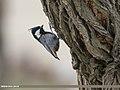 Rufous-naped Tit (Periparus rufonuchalis) (48332218711).jpg