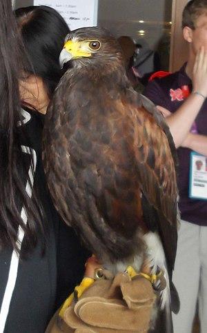 Rufus the Hawk - Rufus the Hawk, Bird Scarer