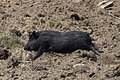 Running pig.jpg