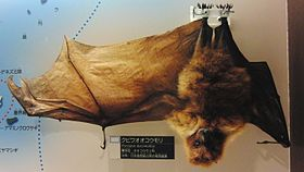 Ryukyu flying fox Stuffed specimen.jpg