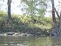 SH Columbus Day Great Blue Heron (5114842611) (2).jpg