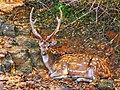 SL Deer.jpg