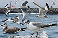 Sabines Gull From The Crossley ID Guide Eastern Birds.jpg
