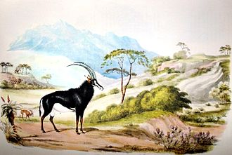 William Cornwallis Harris - Sable antelope