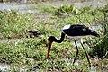 Saddle-billed stork (Ephippiorhynchus senegalensis) (10902905625).jpg
