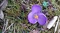 Saffron - Crocus vernus 02.jpg