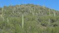 Saguaro forest 2.jpg