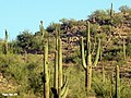 Saguaro near Yuma Arizona ^^ (Very)Prickly ^ Hot place - panoramio.jpg