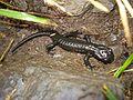 Salamandra orobica.jpg