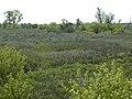 Salix amygdaloides (4018710662).jpg