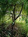 Salix chrysocoma (8).JPG