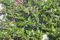 Salix glabra (Glanz-Weide) IMG 1309.jpg