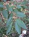 Salix tetrasperma 02.JPG