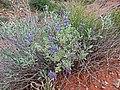 Salvia dorrii (Habitus) - Flickr - andrey zharkikh.jpg
