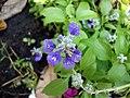 Salvia farinacea (4).JPG