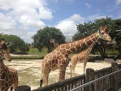 Samburu Giraffe Feeding Station