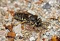 Sand Wasp (Bembix tarsata) digging a hole ... (35581694722).jpg