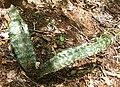Sansevieria kirkii 2 (5329640465).jpg